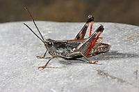 Kiesbank-Grashüpfer, Kiesbankgrashüpfer, Chorthippus pullus, Glytobothrus pullus, Stauroderus pullus, Gravel Bank Grasshopper, Gravel Grasshopper, Criquet des iscles