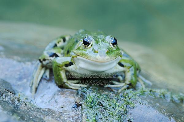 Edible Frog (Rana esculenta), adult on log, Switzerland, Europe