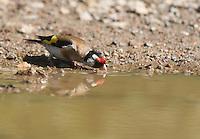 Stieglitz, Distelfink, trinkend, an der Tränke, Carduelis carduelis, European goldfinch