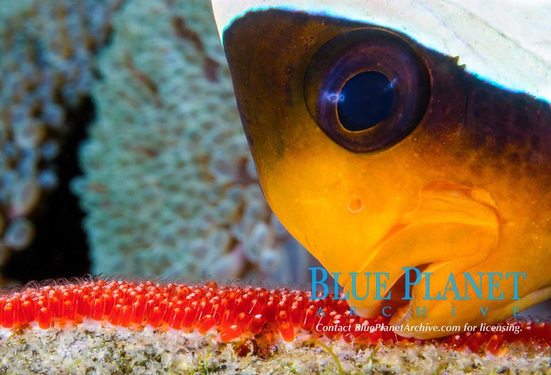 Clark's anemonefish, Amphiprion clarkii, aerating eggs, Tulamben, Bali, Indonesia, Pacific Ocean