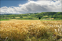 Golden Tibetan barley field in harvest season.