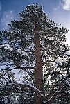 Winter snow lines the branches of a tall Ponderosa pine (Pinus ponderosa), Rocky Mtn Nat'l Park, CO