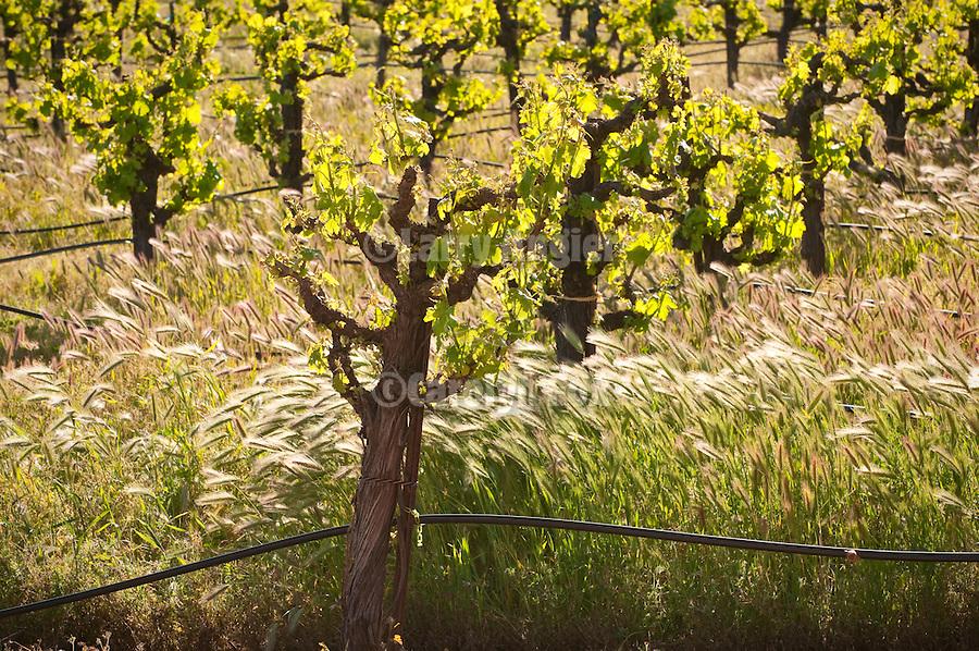 Vineyard in spring, Shenandoah Valley, Amador County, Calif.