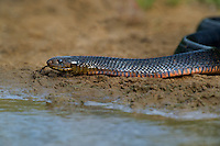 438950048 a wild adult texas indigo snake drymarchon corais erebennus swims and drinks in a small pond on dos venadas ranch starr county rio grande valley texas united states