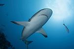 Caribbean Reef Shark sunball, Jardinas de la Reina, Gardens of the Queen