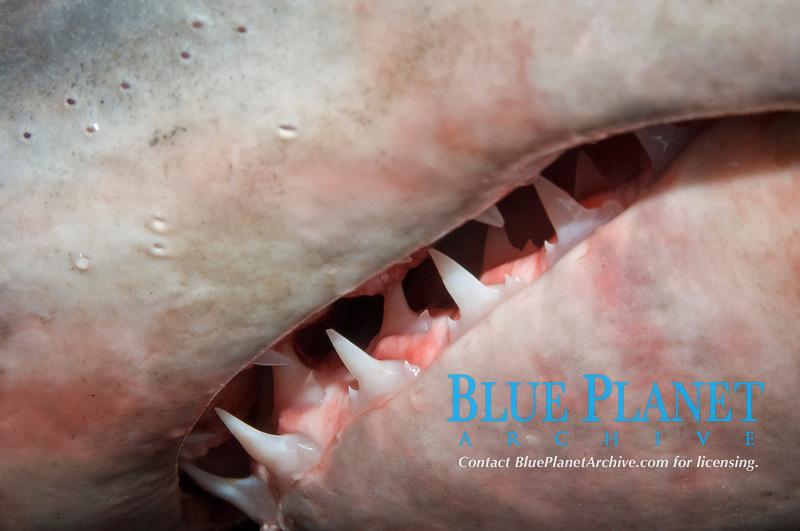 porbeagle shark, Lamna nasus, close up of the jaw and teeth (c)