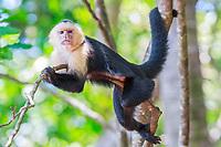 white-headed capuchin, Cebus capucinus, aka white-faced capuchin, or white-throated capuchin, resting on tree, Manuel Antonio National Park, Costa Rica