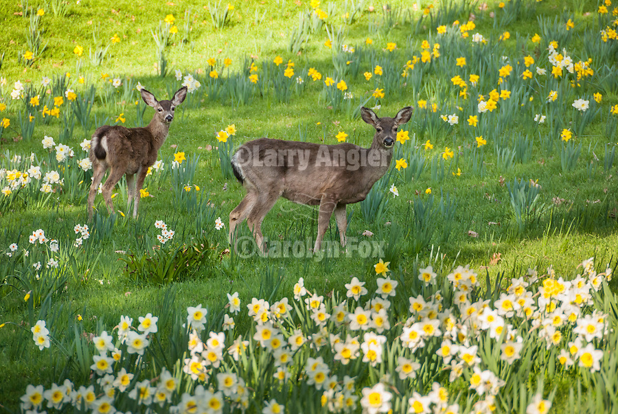 McLaughlin's Daffodil Hill in bloom, Volcano, Calif.<br /> <br /> Two deer enjoy the flowers