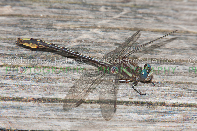 Lancet Clubtail (Gomphus exilis) Dragonfly - Male, Promised Land State Park, Greentown, Pike County, Pennsylvania