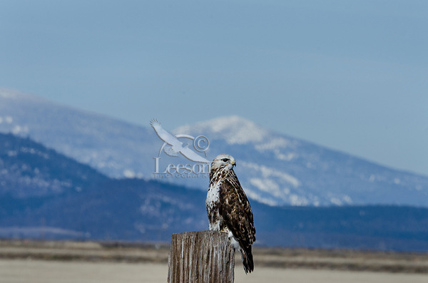 Rough-legged Hawk or Rough-legged Buzzard (Buteo lagopus), Klamath Basin National Wildlife Refuges, OR/CA.  Feb-March.
