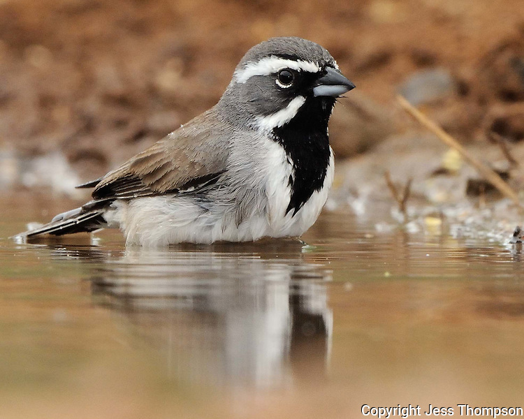 Black-throated Sparrow, South Texas ranch