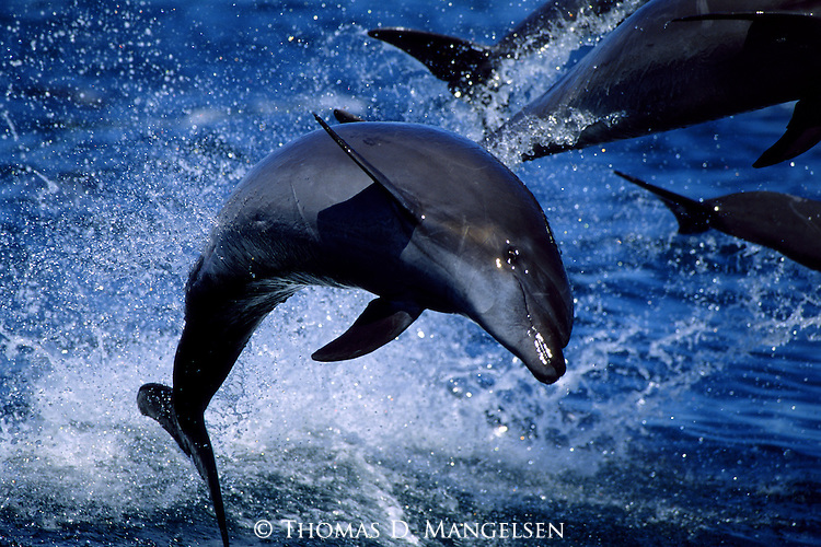 Bottlenose dolphins play in the ocean in the Sea of Cortez in Baja, California.