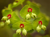 Close up of Euphorbia flowers. Oregon