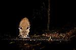 Bobcat (Lynx rufus californicus) drinking at waterhole at night, Aptos, Monterey Bay, California