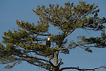 Bald eagle in white pine