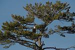 Bald eagle in white pine
