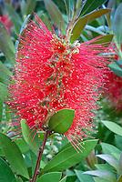 Callistemon citrinus 'Splendens' Crimson Bottlebrush, spiky flowered mediterranean drought tolerant shrub in red blooms