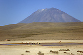 Altiplano, Peru. Guanacos drinking at a watering hole on the Pampa Canahuas with a volcano cone behind.