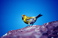 Nihoa Finch-male-Nihoa.  Endangered Species