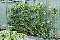 Apple tree espalier on blue wall in garden, with zucchini, leeks