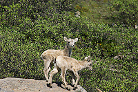 Bighorn Sheep or Mountain Sheep (Ovis canadensis) lambs.  Northern Rockies.  June.