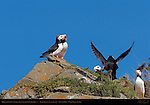 Horned Puffins commenting on Landing Technique, Duck Island, Puffin Island, Tuxedni Bay, Cook Inlet, Alaska