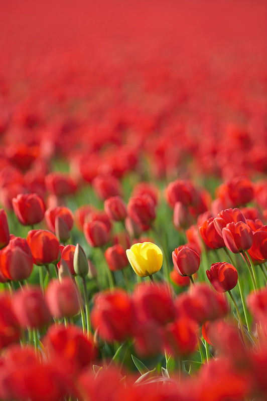 Field of red tulips with one yellow tulip. Mt. Vernon. Washington