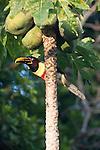 Collared Aracari, Pantanal, Brazil , Papaya (Carica papaya)