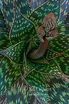 Aloe, Aloe maculata, Polygonum Capitatum, Fern Canyon Garden, Mill Valley, California