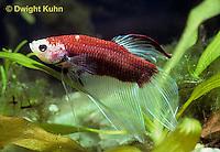 BY02-016z  Siamese Fighting Fish - male - Betta splendens
