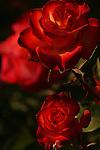 Roses bloom in the spring in San Rafael, California