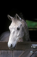 A LIPIZZAN STALLION in his stall