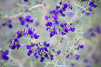 Indigo Bush (Psorothamus schottii). Anzo Borrego Desert State Park, California