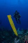 Yellow Tube sponge and diver