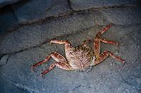 Ghost Crab (Ocypode sp.) at D.T. Fleming Beach Park, Kapalua, Maui, Hawaii, US