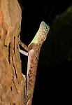 Common Gliding Lizard