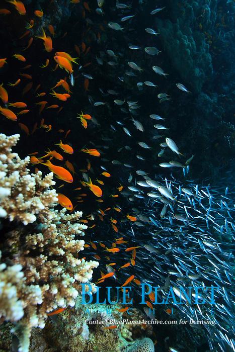 Lyretail anthias, schooling, Pseudanthias squamipinnis and glassfish, Safaga, Egypt, Red sea.