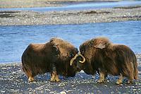 MB406  Muskoxen bulls butting heads. (Ovibos moschatus). .Dominance posturing among males.  Arctic Alaska.  July.