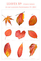 Fine art print Leaves x9; fall foliage in Saxon Holt garden November 19. 2011