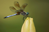 Blue Dasher (Pachydiplax longipennis), male perched on Yellow Waterlily (Nymphaea mexicana), Fennessey Ranch, Refugio, Coastal Bend, Texas, USA