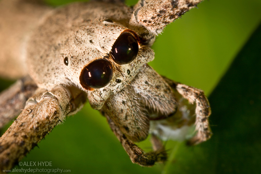 Head of ogre faced / net-casting spider {Deinopis sp} showing the huge pair of eyes that enable it to hunt at night. Daintree Rainforest, Queensland, Australia. website