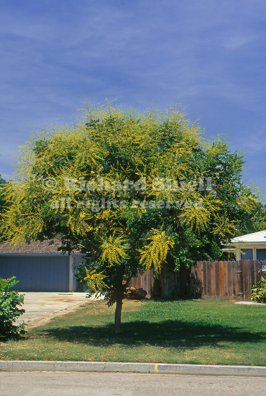10611-CB Goldenrain Tree, Koelreuteria paniculata, lawn tree in bloom, at Visalia, CA