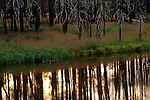 Golden light filters through a grove of burned trees and reflects in the nearby water in Yellowstone National Park, Wyoming.