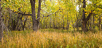 Autumn landscape with grasses in Cottonwood grove, West Bijou Ranch, Strasburg Colorado; managed by Savory Institute,