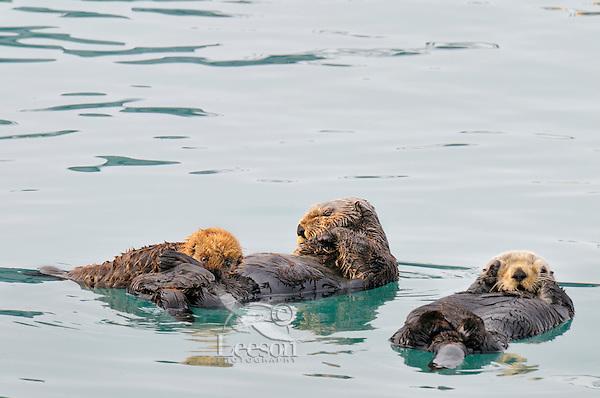 Alaskan or Northern Sea Otters (Enhydra lutris)--one nursing pup.