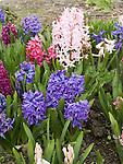 Dutch Hyacinth patch, Hyacinthus orientalis