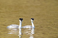A pair of Western Grebes, Aechmophorus occidentalis, performs a mating dance on Upper Klamath Lake, Oregon