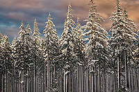 Snow covered trees with sunrise. Oregon Cascades