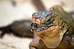 Cyclura cychlura figginsi, iguana, endangered