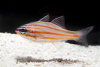 Gold Striped Cardinalfish, Apogon cyanosoma, range: Indo-West Pacific Ocean ( c )